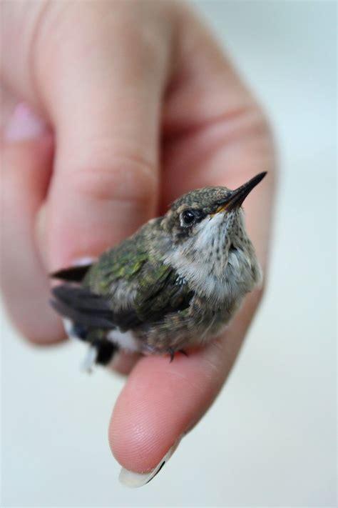 baby hummingbird hummingbirds pinterest