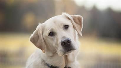 Labrador Retriever Wallpapers Animals