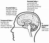 Brain Addiction Science Cortex Lobe Worksheets Education Lobes Functions System Balance Cerebral Health Nih Gov Awaremed Limbic Neurotransmitters Frontal Care sketch template