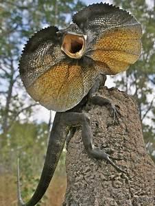 Frill Necked Lizard So Dinosaur Like Artistic Flare 4