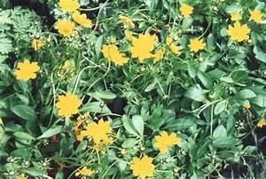 Coreopsis Auriculata  U0026 39 Nana U0026 39