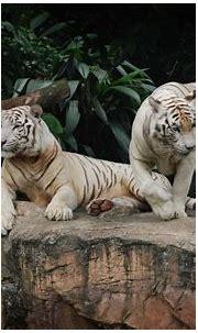 White Tiger HD Wallpaper   Background Image   2800x1760 ...