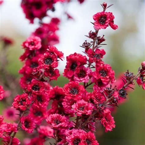 leptospermum scoparium manuka leptospermum tea tree
