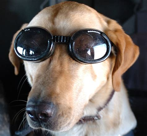 Dog Sunglasses Buying Guide Find the Best Doggles and