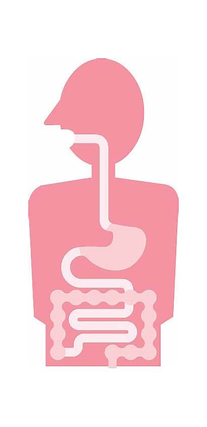 Digestive System Clip Human Vector Tract Illustration
