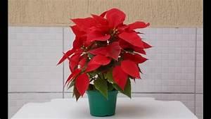 Flor De Natal Poins U00e9tia Flor  Poinsettia Care Guide
