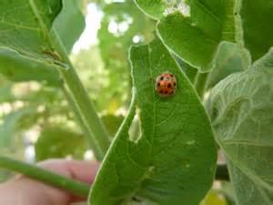 Leaf Eating Ladybirds Potato Pest In Indonesia And