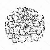 Zinnia Flower Drawing Drawings Coloring Paintingvalley sketch template