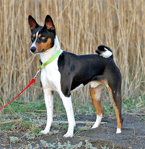 basenji facts pictures price  training dog breeds