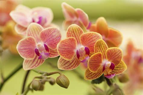 coltivare in vaso come coltivare le orchidee non sprecare