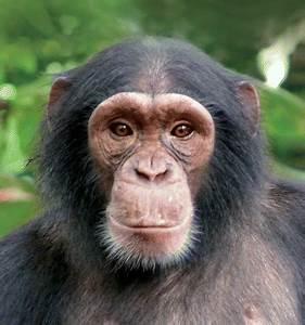 Chimpanzees – Great Apes Survival Partnership