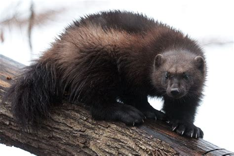 finlands wolverines   hunters sights