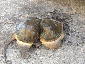 Trapped snapping turtle | The New Tropic