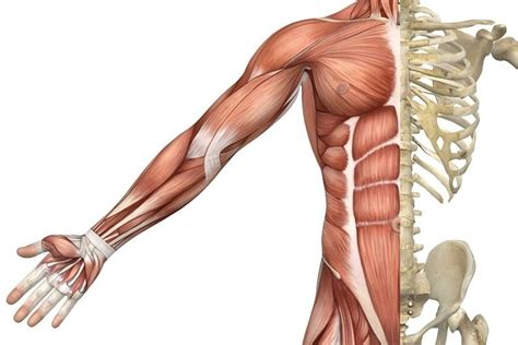 See all bones, joints and muscles topics. Muscle types — Science Learning Hub