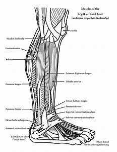 Muscles Of The Leg  Calf  And Foot  Lateral View   Advanced