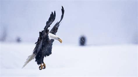 wallpaper eagle alaska   wallpaper hd flight