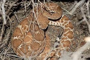 Red Diamond Rattlesnake Facts And Pictures