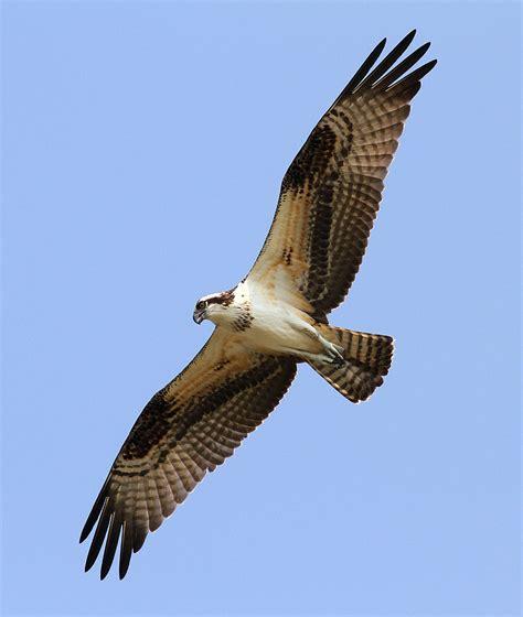 Images Of Osprey Osprey Photos Phil Lanoue Photography