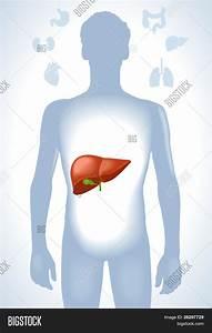 Set Human Anatomy Parts  Liver  Vector  U0026 Photo