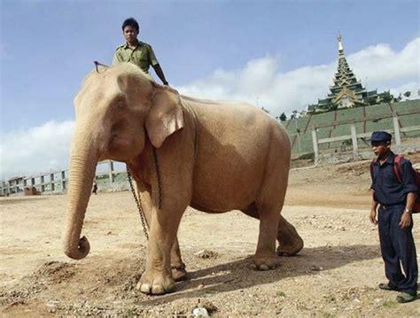 white elephant white elephant my elephant muse