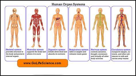 Human Body Systems And Their Roles (basic Idea And Notes