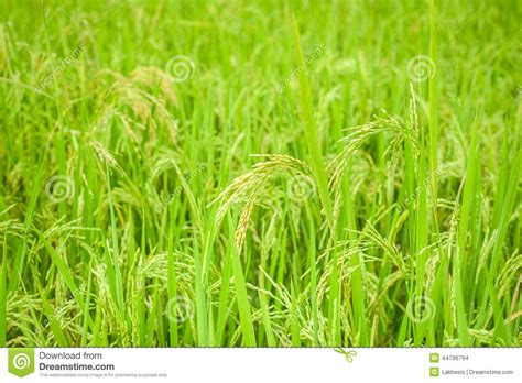 Background Crop Rice Crop Growing On Plantation Agriculture Background Of