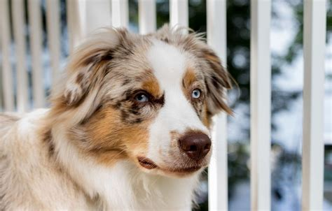 Filea Seven Month Old Male Australian  Ee  Shepherd Ee   Jpg