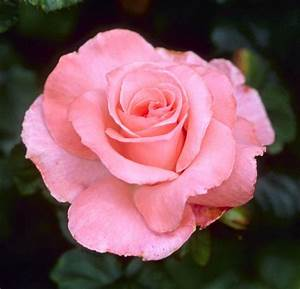 Beginner U2019s Rose List  U00ab Minnesota Rose Society