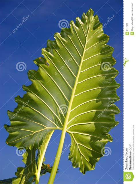 Large Tropical Leaf Royalty Free Stock Photos  Image 8112038