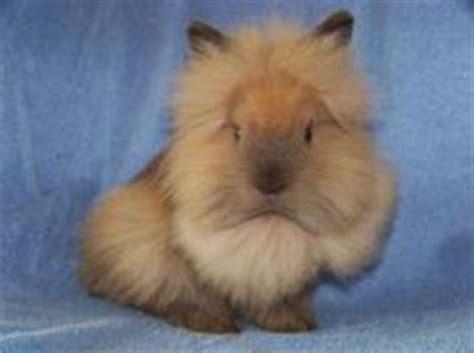 lionhead rabbit colors lionhead rabbits on lionhead rabbit rabbit