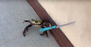 Badass Crab Wields Knife To Protect Itself From The Chef