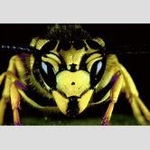 queen-yellow-jacket-nest