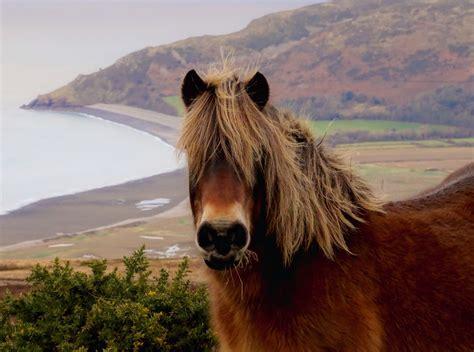 exmoor pony ponies park breeds national