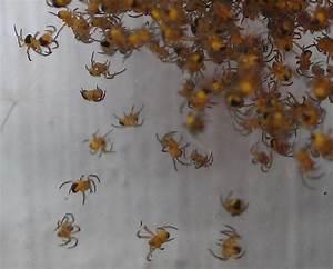 Viele Spinnen Im Haus : arifs gartenwelt hunderte kleine gelbe krabbeltiere ~ Watch28wear.com Haus und Dekorationen