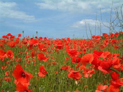 memorial poppy flower memorial day poppies new under the sun blog