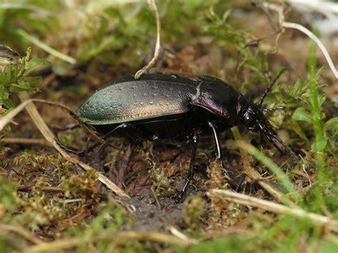European Ground beetle - Encyclopedia of Life