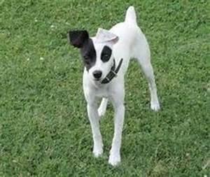 Fotos de Fox terrier Chileno 2 meses | Mascotas ...