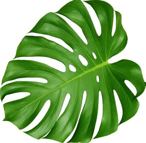big leaf house plants house plants with large leaves
