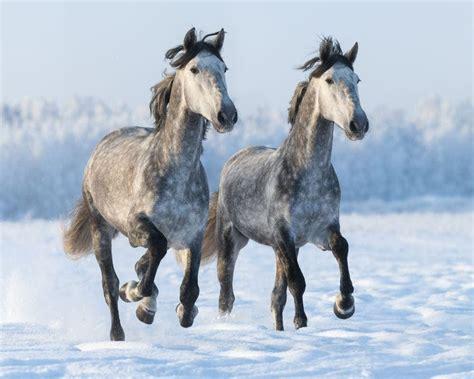 roan horse horses genetics gray helpfulhorsehints colors descriptions rare coat andalusian spaniel cocker true