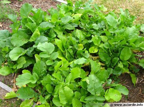 cuisiner les feuilles de radis radis noir radis d 39 espagne radis d 39 hiver raphanus