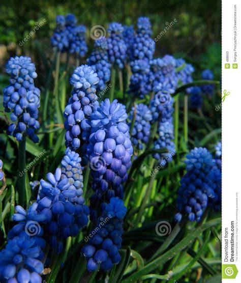 blaue blumen frühling blaue blumen stockfotos bild 488603