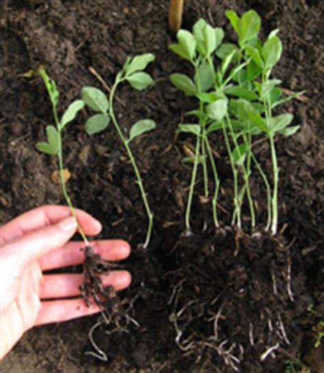 when to plant sweet peas outside how to grow sweet peas thompson morgan