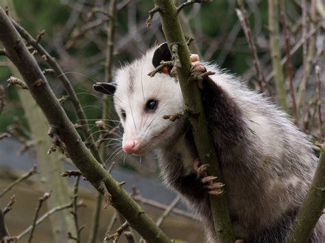 Possum Backyard by 17 Best Images About Trapping On Fur Trade