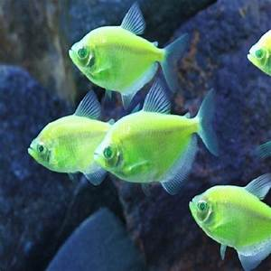 Neon Green Tropical Fish