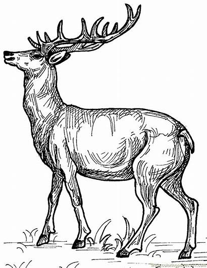 Deer Coloring Pages Coloringpages101