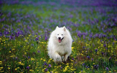 24 Samoyed Hd Wallpapers Backgrounds Wallpaper Abyss