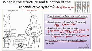 8 10 Reproductive System Structure And Function