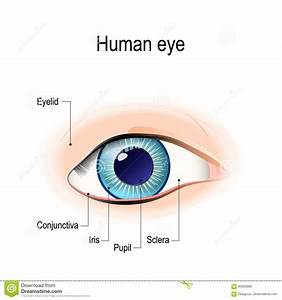 Anatomy Of The Human Eye In Front View Stock Vector