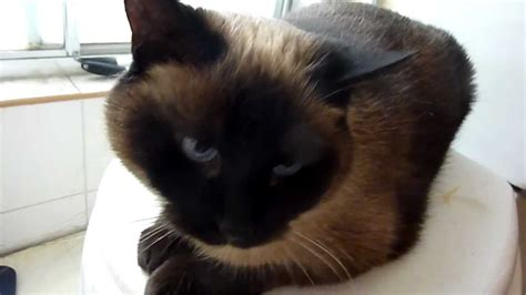 siamese cat meowing     shower youtube