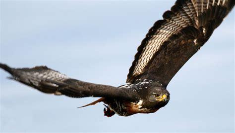 raptor bird radical raptors plettenberg bay garden route bird of prey rehabilitation and awareness